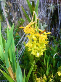 1 (68) Orquidea Amarila Cristina