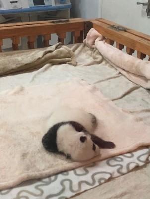 China Day 7 - Giant Panda Research Centre Chengdu - Panda Babies Nursery2