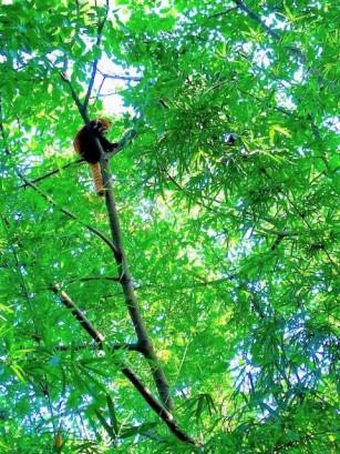 China Day 7 - Giant Panda Research Centre Chengdu - Red Pandas2