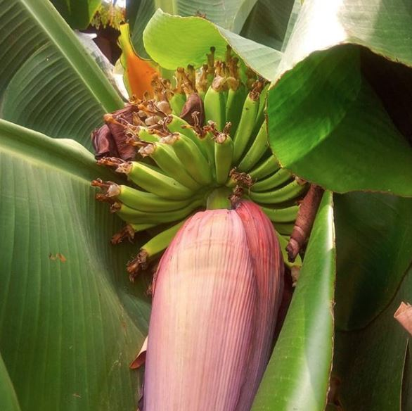 Frutos Conciencia Barichara - Margarita - I'm going bananas. Yes folks, those yellow bendy things you buy in the supermarket start their lives like this. How does your garden grow - 100% Naturales